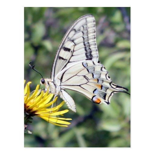 Mariposa blanca y negra en la flor amarilla tarjetas postales