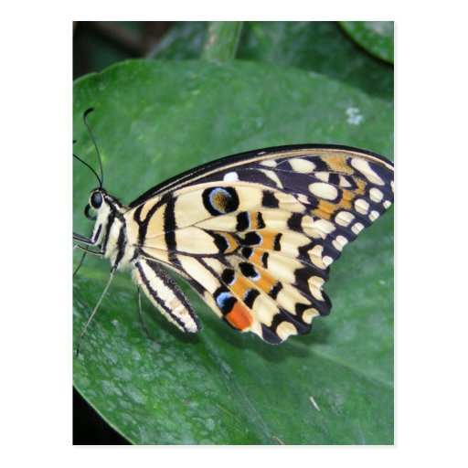 Mariposa blanco y negro amarilla en la hoja tarjeta postal