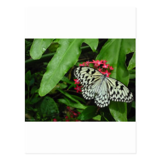 Mariposa blanco y negro en abril Robbins Tarjeta Postal