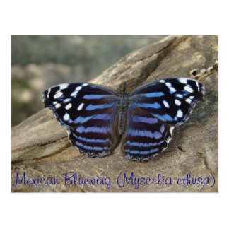 Mariposa de Bluewing del mexicano (ethusa de Mysce Postales