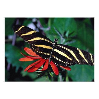 Mariposa de la cebra en la flor llameante mexicana anuncio