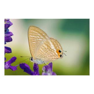 Mariposa de la polilla de Peablue Lampides Impresiones Fotograficas