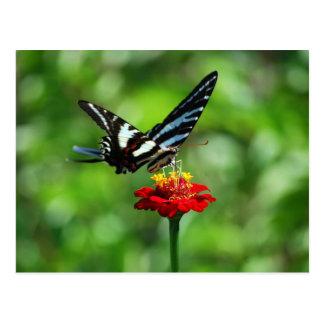 Mariposa de Swallowtail de la cebra en la postal