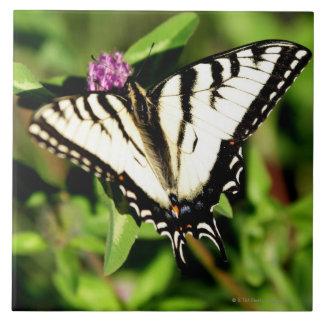 Mariposa de Swallowtail del tigre. Papilio glacus. Azulejo Cuadrado Grande