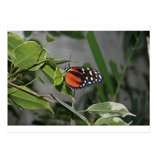 Mariposa manchada blanco y negro anaranjada tarjeta postal