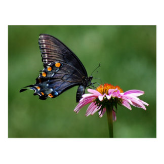 Mariposa negra de Swallowtail en la postal de