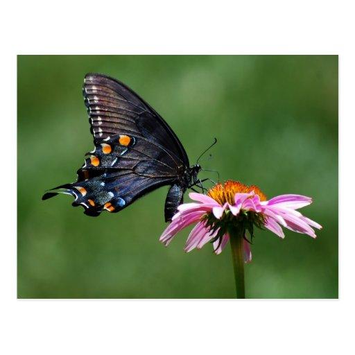 Mariposa negra de Swallowtail en la postal de Cone