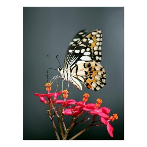 Mariposa negra y amarilla blanca en las flores ros postal