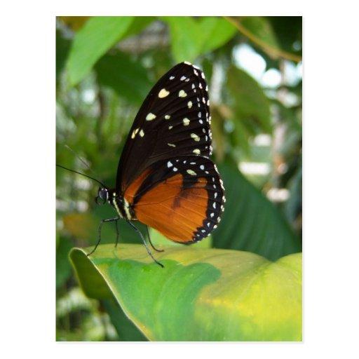 Mariposa negra y anaranjada con los puntos blancos postales