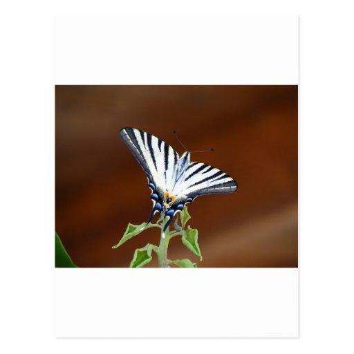 Mariposa rayada blanco y negro de la cola de milan tarjeta postal