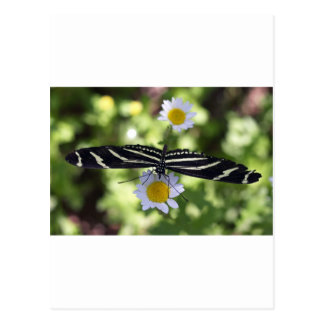 Mariposa rayada blanco y negro hermosa tarjeta postal