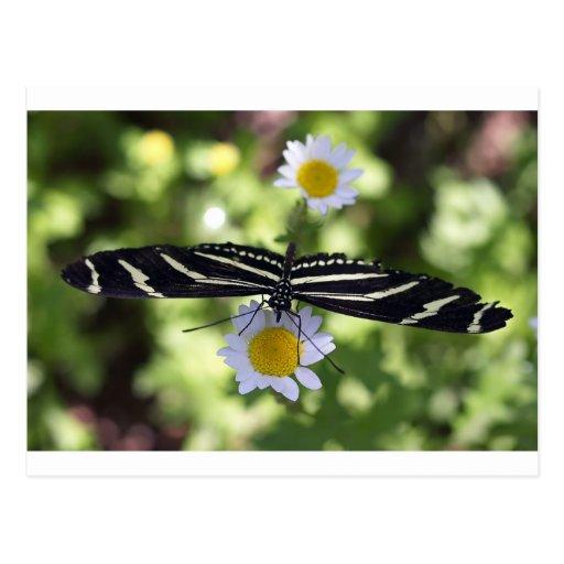 Mariposa rayada blanco y negro hermosa tarjetas postales