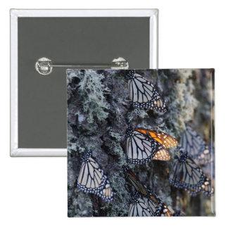 Mariposas de monarca en el árbol de pino, Sierra Chapa Cuadrada