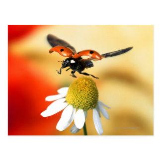 mariquita en la flor 2 postal