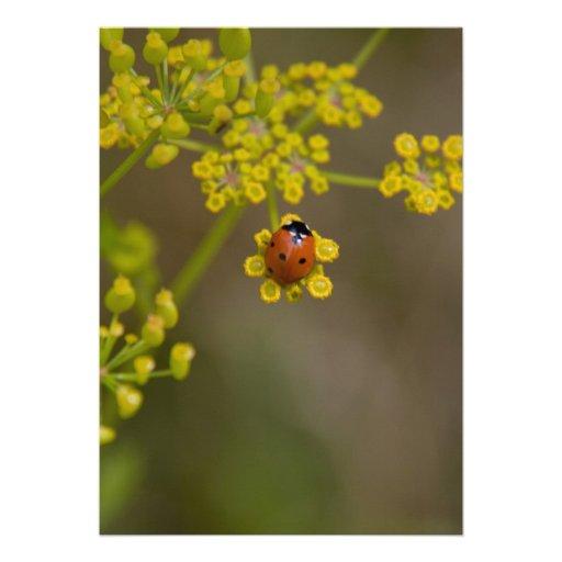 Mariquita en la flor amarilla comunicado