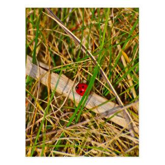 Mariquita en la imagen de la hierba postal