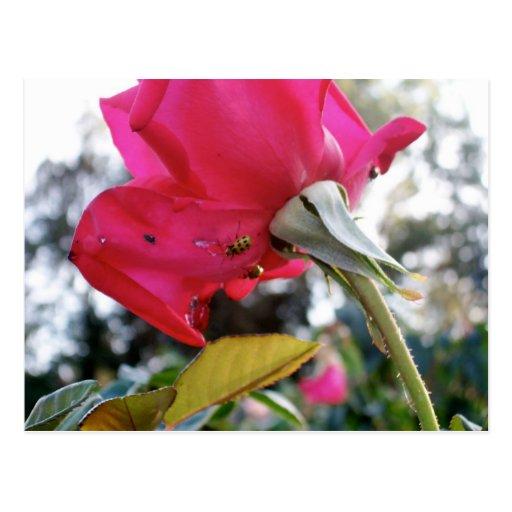 Mariquita en un color de rosa postales