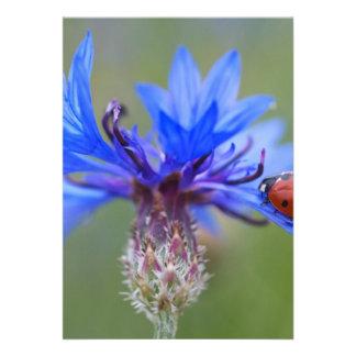 Mariquita en un cornflower azul comunicados personalizados