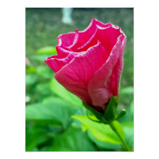 Mediados de-Doblez color de rosa Póster