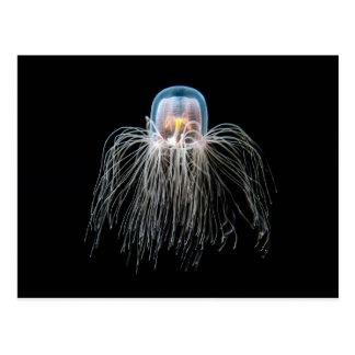 Medusas (nutricula del turritopsis) postal