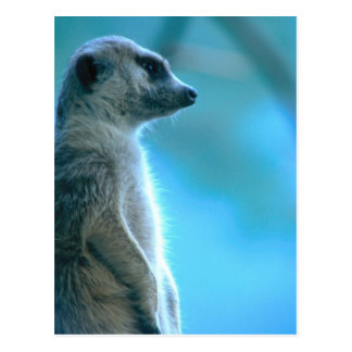Meerkat brumoso postal