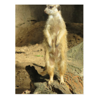 Meerkat curioso postal