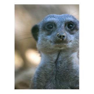 Meerkat divertido postal