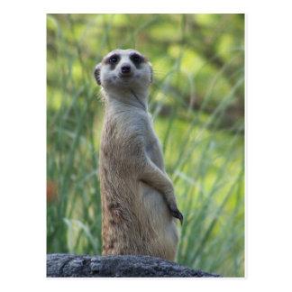 Meerkat dulce postal