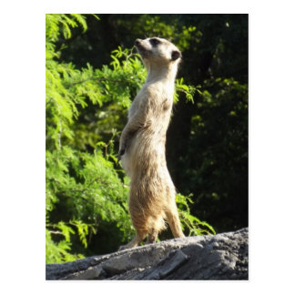 Meerkat- en el reloj postal