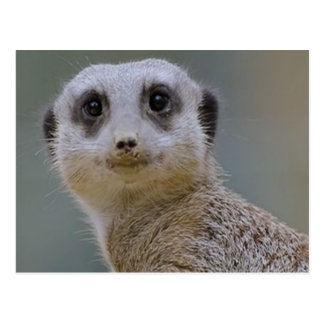 meerkat postal