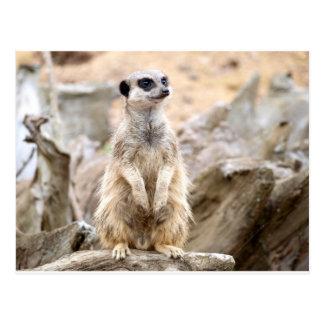 Meerkat que se coloca alto postal