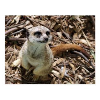 Meerkat satisface más postal