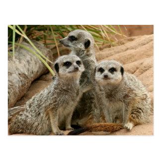 Meerkats en el puesto de observación postal