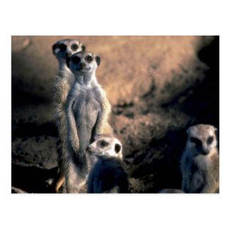 Meerkats Postal