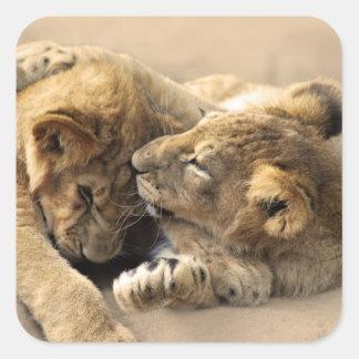 Mejores amigos de los cachorros de león pegatina cuadrada