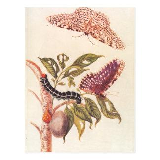 Metamorfosis de una mariposa Maria Sibylla Merian Postal