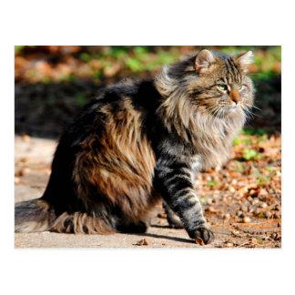 Mi postal del gato de Coon de Maine de la bellota
