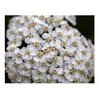 Milenrama (millefolium de Achillea) Postal