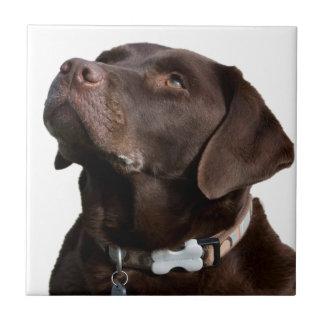 mirada del perro de Labrador adelante para amar al Azulejo Cuadrado Pequeño