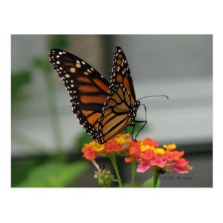 Monarca en la postal del Lantana