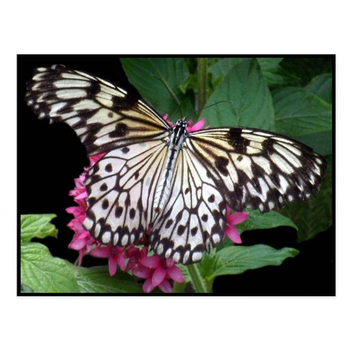 Mosaico blanco negro rosado de la mariposa tarjetas postales