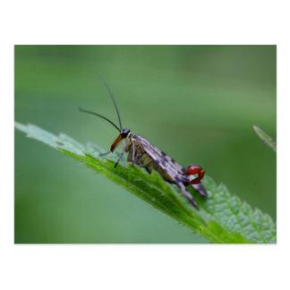 Mosca común del escorpión (Panorpa communis) Postal