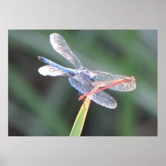 Mosca de la damisela encaramada en libélula póster