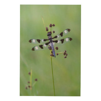 Mosca del dragón encaramada en la hierba, Canadá Impresión En Madera