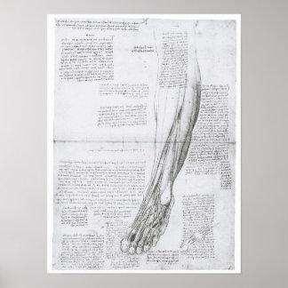 Músculos de la pierna, Leonardo da Vinci Póster