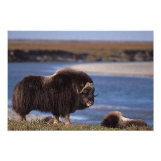 Muskox, vaca a lo largo de un río en el llano cost impresiones fotograficas
