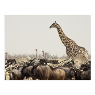 Namibia, parque nacional de Etosha. Una jirafa Postal