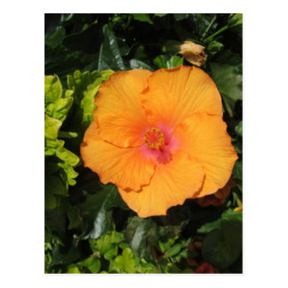 Naranja del hibisco postal