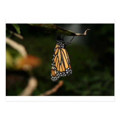 Naranja y negro cons alas, mariposa manchada blanc postales