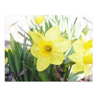Narciso amarillo soleado postal